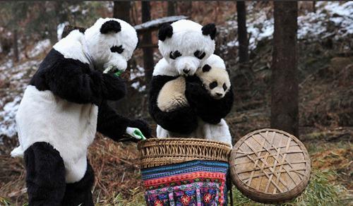 Papas Oso Panda humanos  con pequeño oso