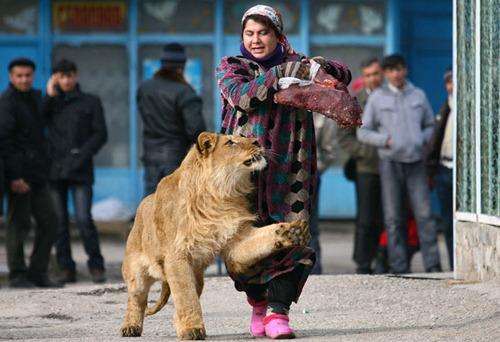 Paseo del león por zoológico