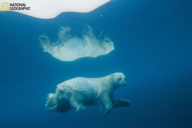 Oso polar nadando debajo del agua refleja imagen