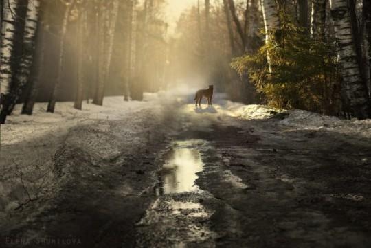 Camino del lobo en el campo foto